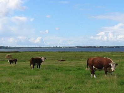 Koeien in de wei © copyright dutchmarco