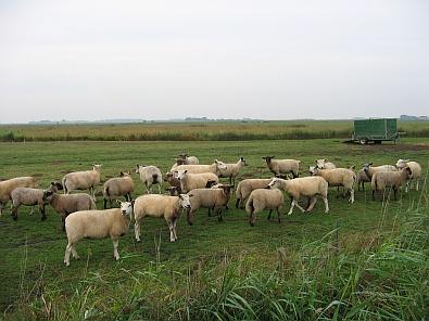 Kudde blatende schapen © copyright dutchmarco