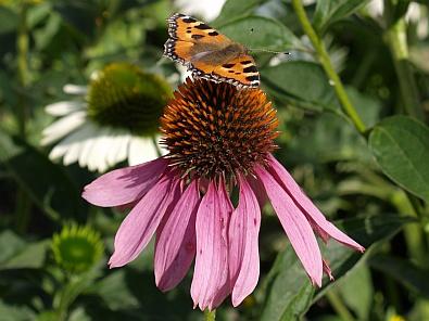 Vlinder op een Echinacea Purpurea © copyright dutchmarco