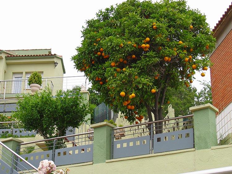 Sinaasappelboom © copyright Dutchmarco