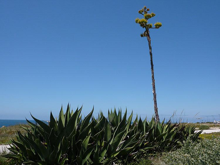 De bloemstengels van dit soort agaves kunnen heel hoog worden © copyright Dutchmarco