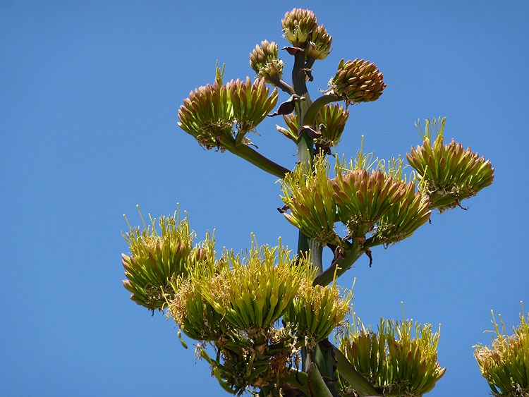 De bloemen van een agave aan één stengel © copyright Dutchmarco