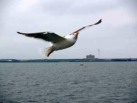 Meeuw tijdens rondvaart over de Oosterschelde © copyright dutchmarco